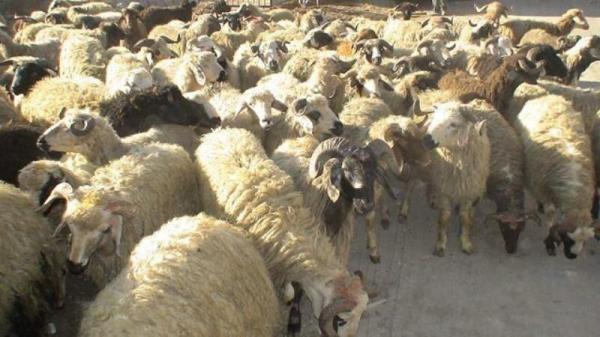 خبرنگاران 115 راس دام قاچاق در قصرشیرین کشف شد